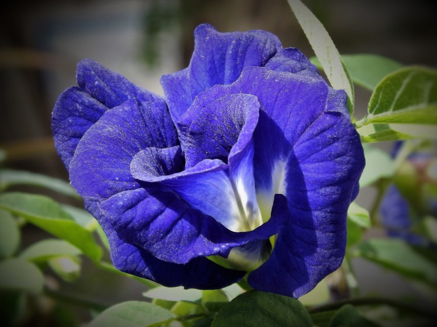 Benefits of Butterfly Pea Flowers for Hair Health