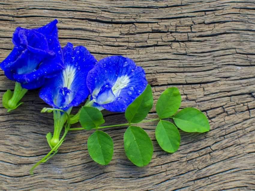 Health Benefits of Butterfly Pea Leaves – Traditional Herbal Plant