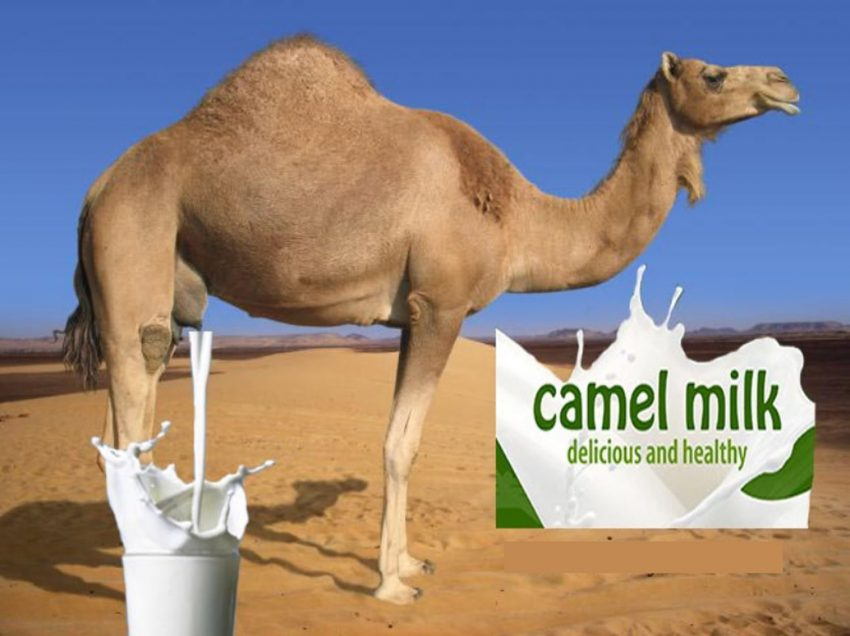 Surprisingly Benefits of Camel Milk for Diabetes