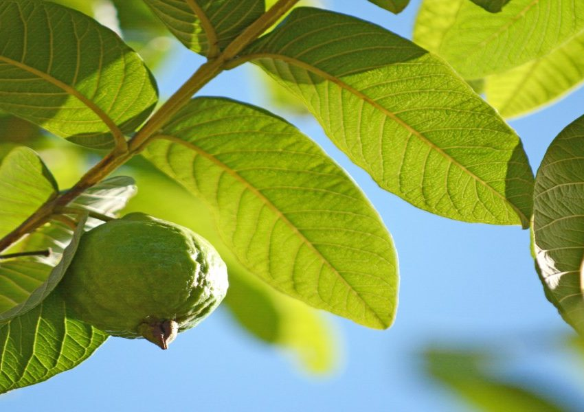 Benefits of Guava Leaves for Teeth (Effective Home Remedy)