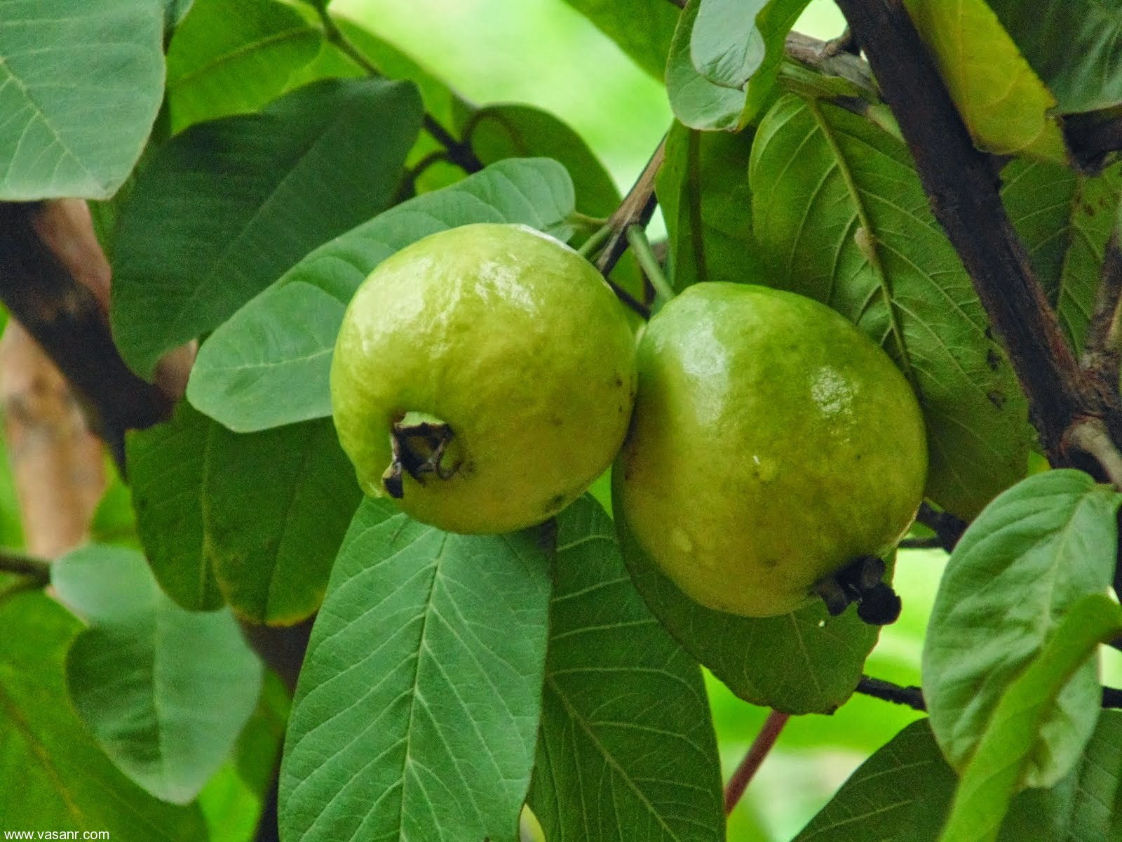 guava leaves for skin whitening