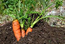 Karotten in Erde