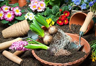 Tulpen und Knollen