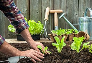 Salatpflanzen setzen