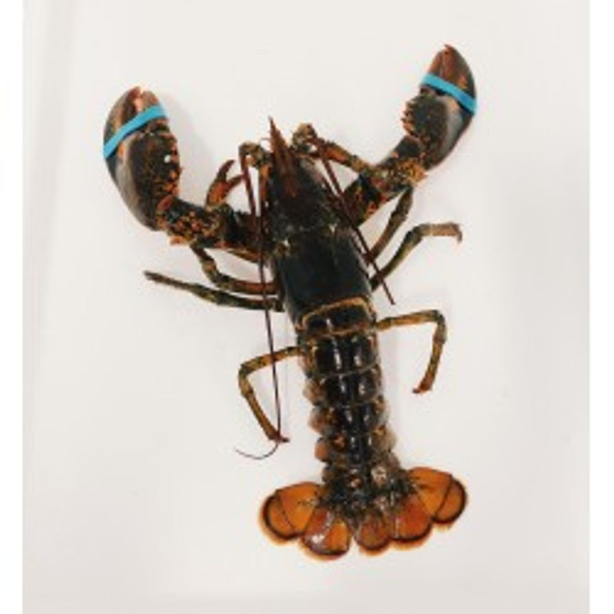 Lobsters - Live Hard Shell Canadian (1.5-2 lbs)