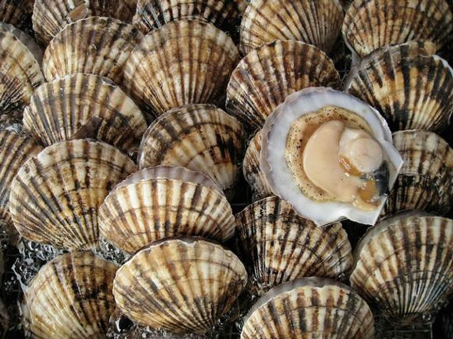 Scallops - Wild Canadian Frozen Pacific Shell ON (2 pcs)