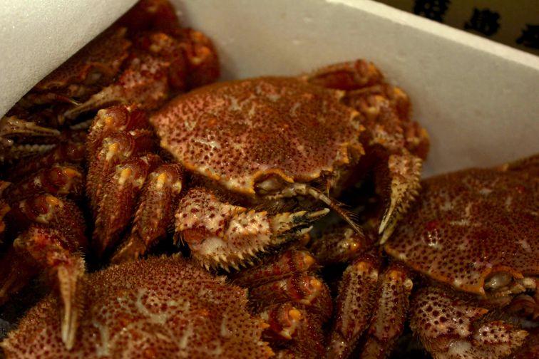 Live Kegani (Hairy Crab)