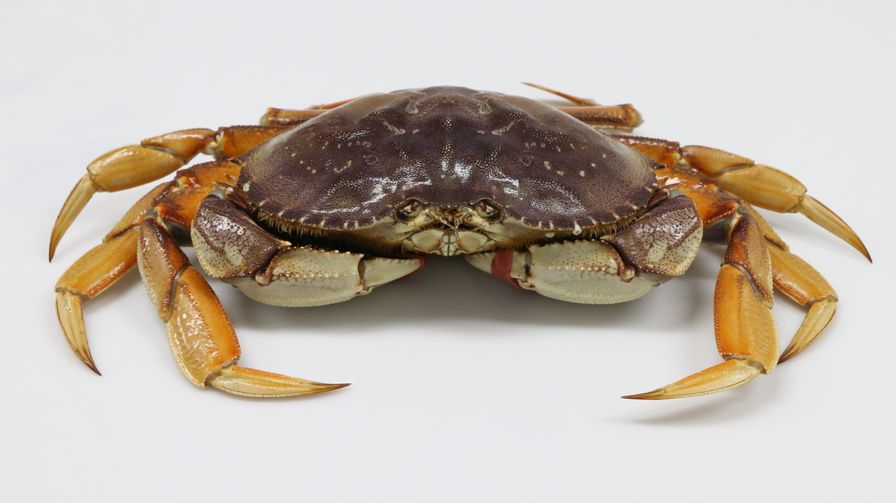 Live BC Dungeness Crab
