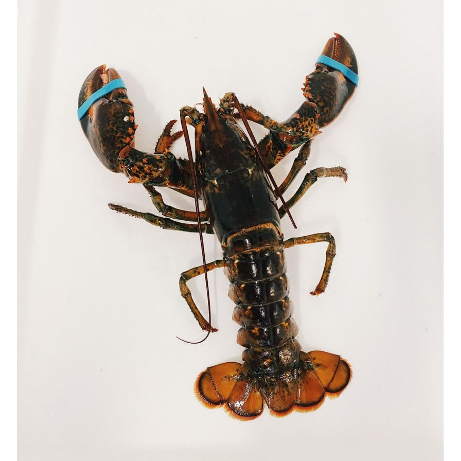 Lobsters - Live Hard Shell Canadian (1.25-1.45 lbs)