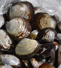 Wild Savory Clams