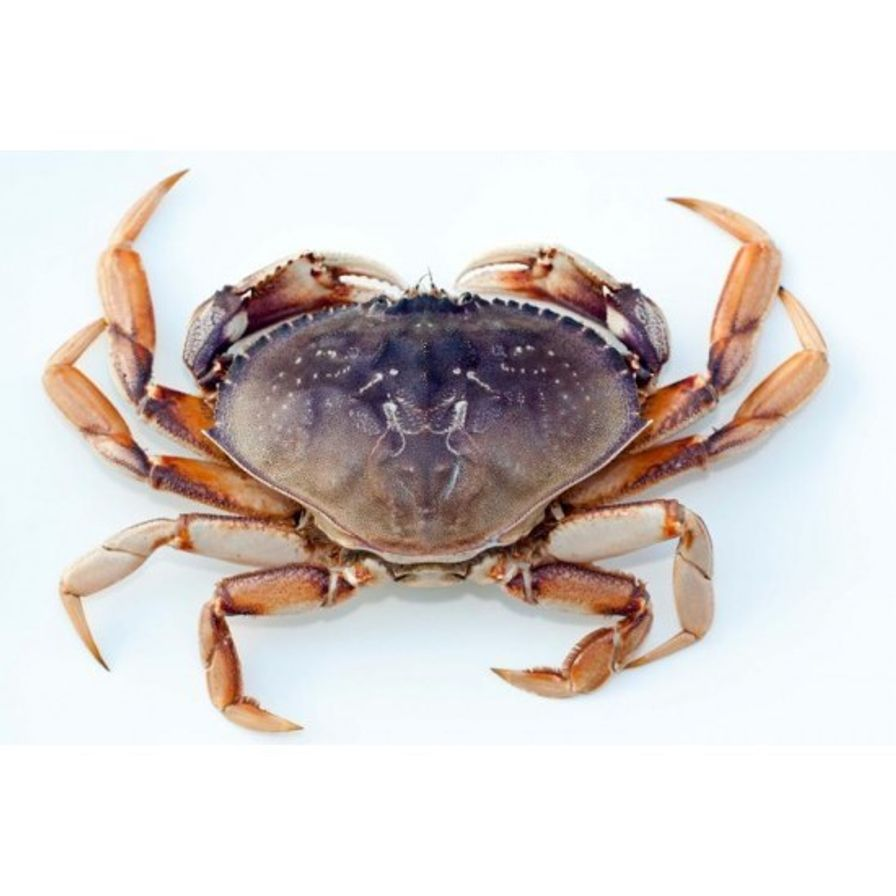 Crab - Dungeness Cull Live (1.3-1.8 lbs)
