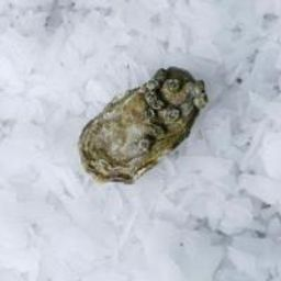 Hammersley Oysters