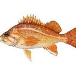 H&L Canary Rockfish (Whole, 1lb. avg.)