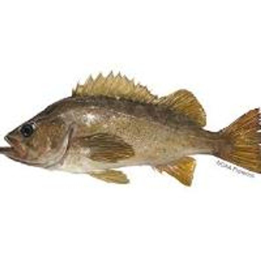 WHOLE CA Yellowtail Rockfish