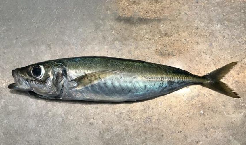 Tsuriaji (Jack Mackerel, Fresh)