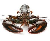 Live Lobster (1.5 lbs)
