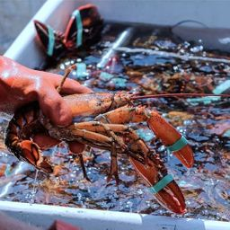 Live Lobsters 1.5lb