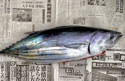Hagatsuo (Striped Bonito, Fresh)