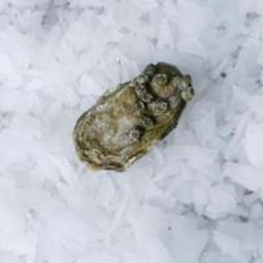 Hammersley Oysters (Wholesale)
