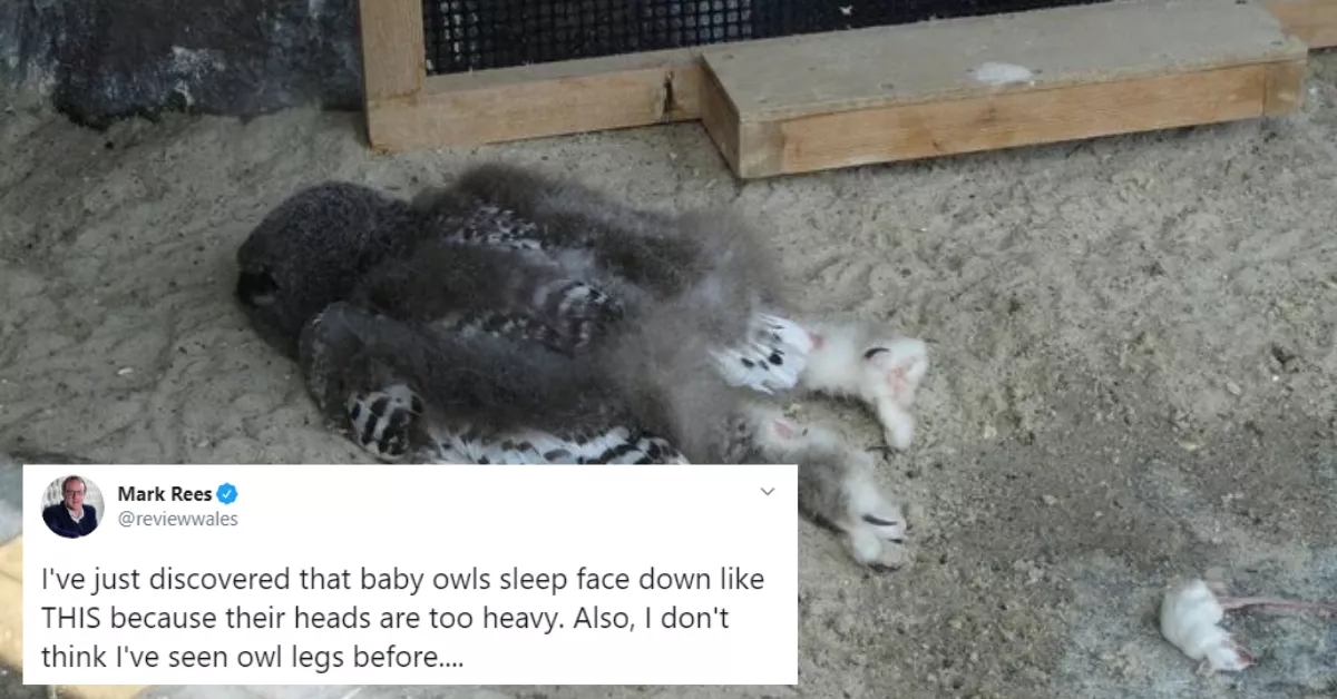 Baby Owls Sleep Face Down Because Their Heads Are Too Heavy