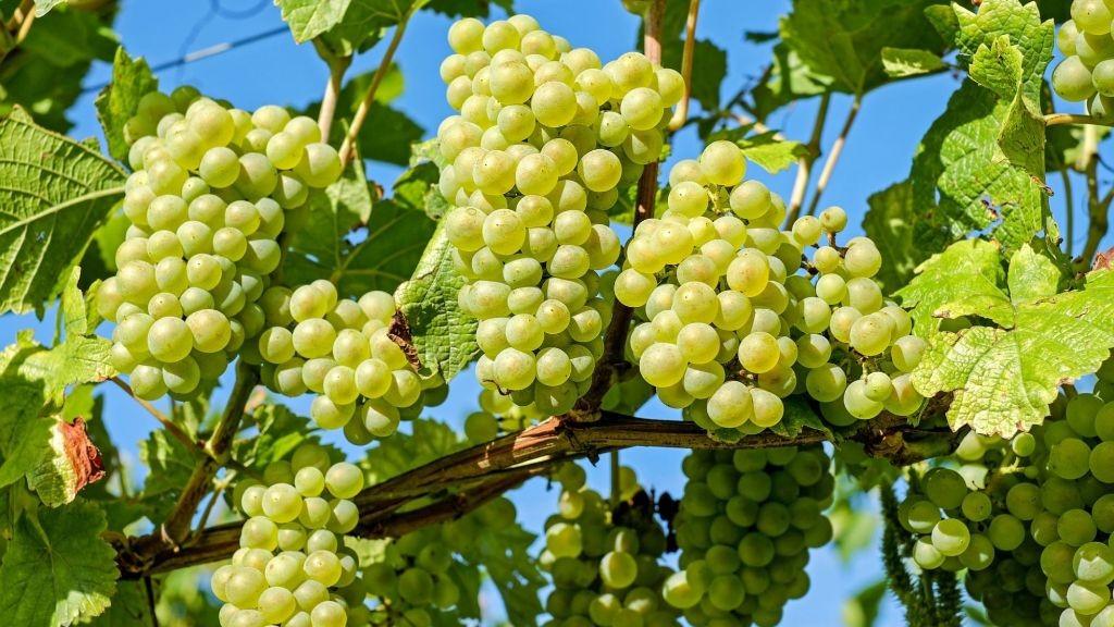 Pole emploi - offre emploi Ouvrier viticole tractoriste (H/F) - Lys-Haut-Layon