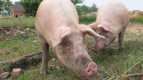 Pole emploi - offre emploi Agent technique porcin (H/F) - Landivisiau
