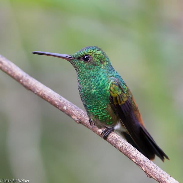 Copper-rumped Hummingbird