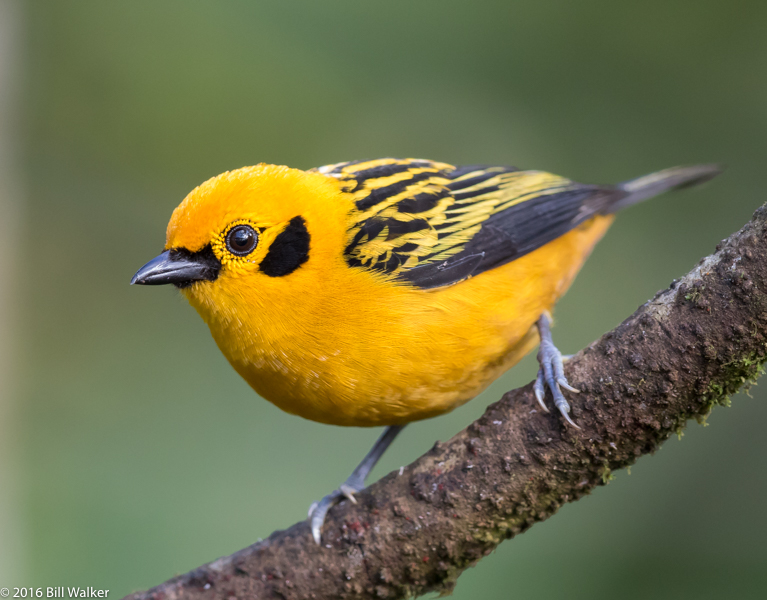 Golden Tanager