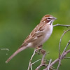 Buntings and New World Sparrows