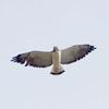 Hawks, Eagles, and Kites