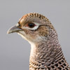 Pheasants, Grouse, and Allies