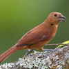 Tanagers and Allies
