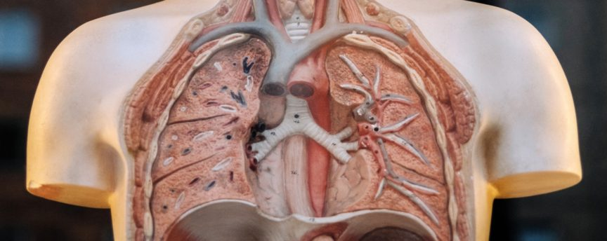 Echo-NHS-Healthcare-Plastic-Model-of-Lungs