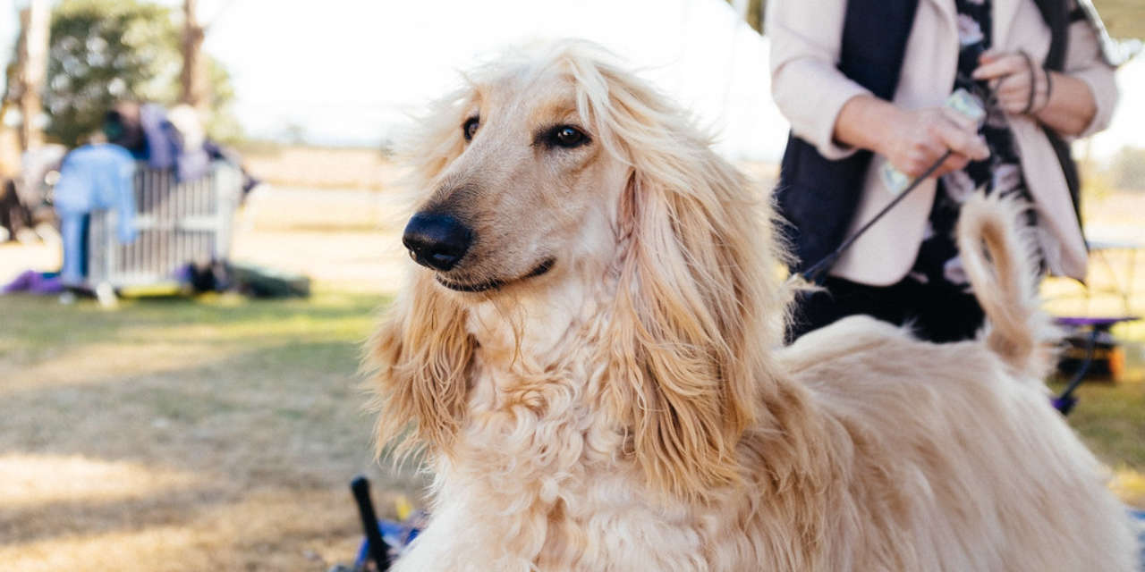 The Afghan Hound - Non Shedding Kinds Of Dogs