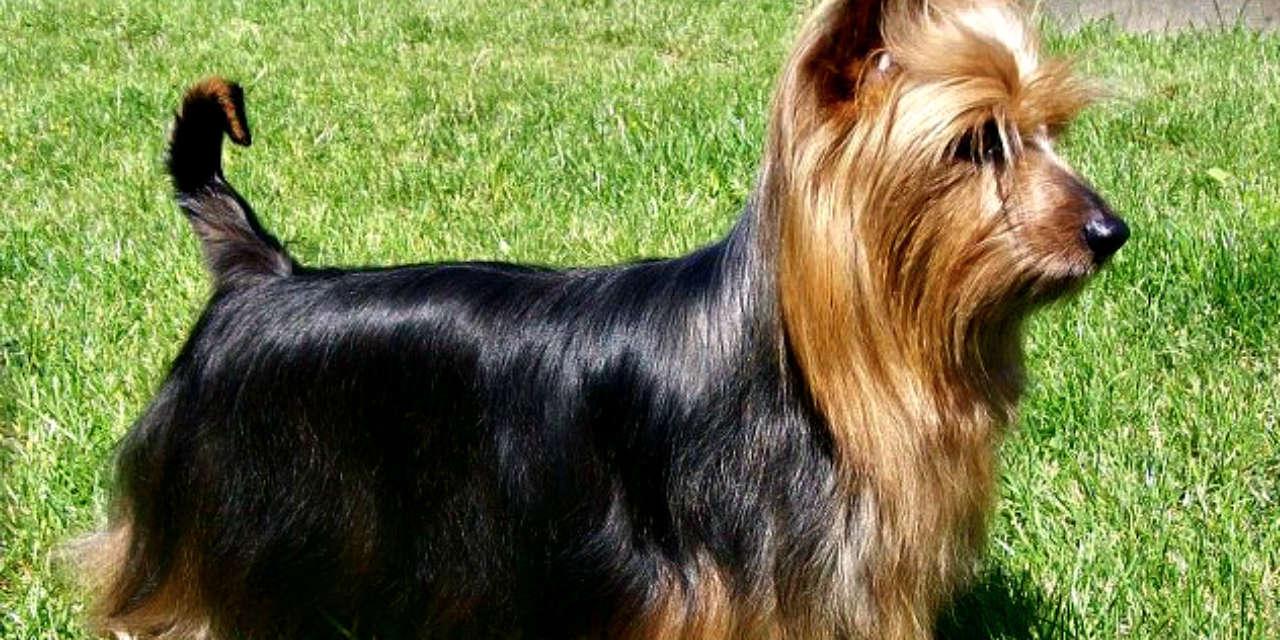 The Australian Silky Terrier - A Non Shedding Dog