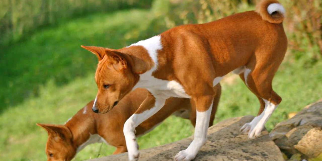 The Basenji - Non Shedding Kinds Of Dogs