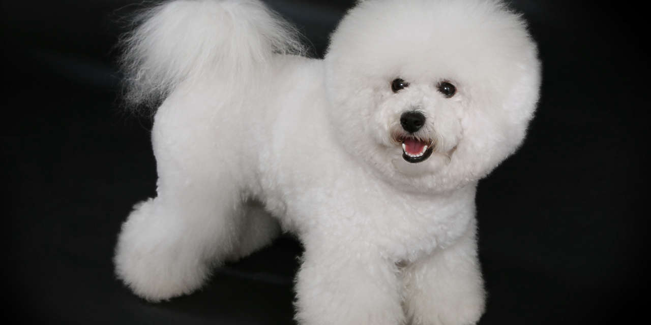 The Bichon Frise - A Non Shedding Dog Breed