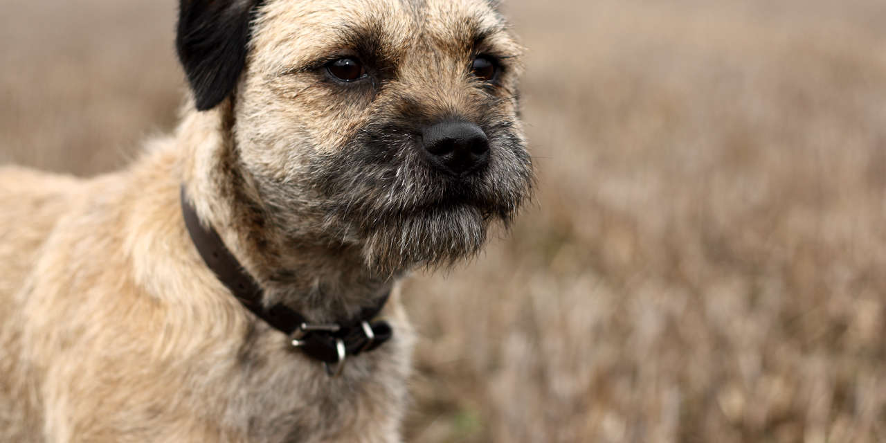 The Border Terrier - Hypoallergenic Breeds Of Dogs