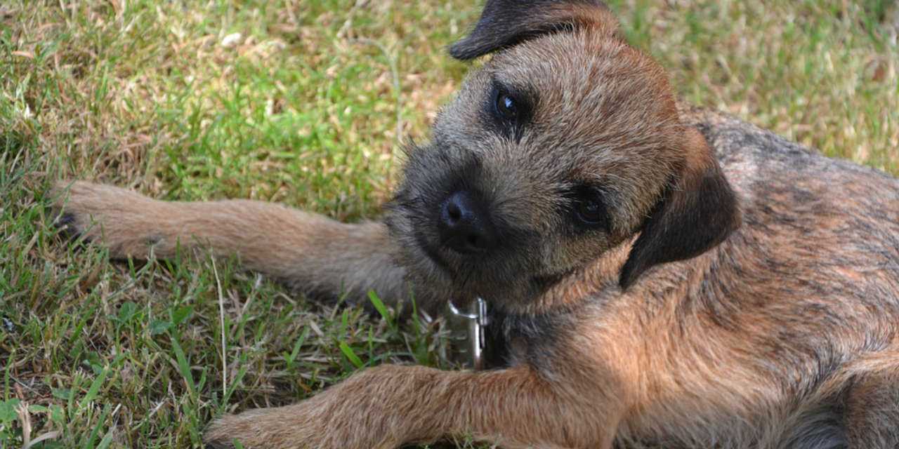 The Border Terrier - A Hypoallergenic Breed Of Dog