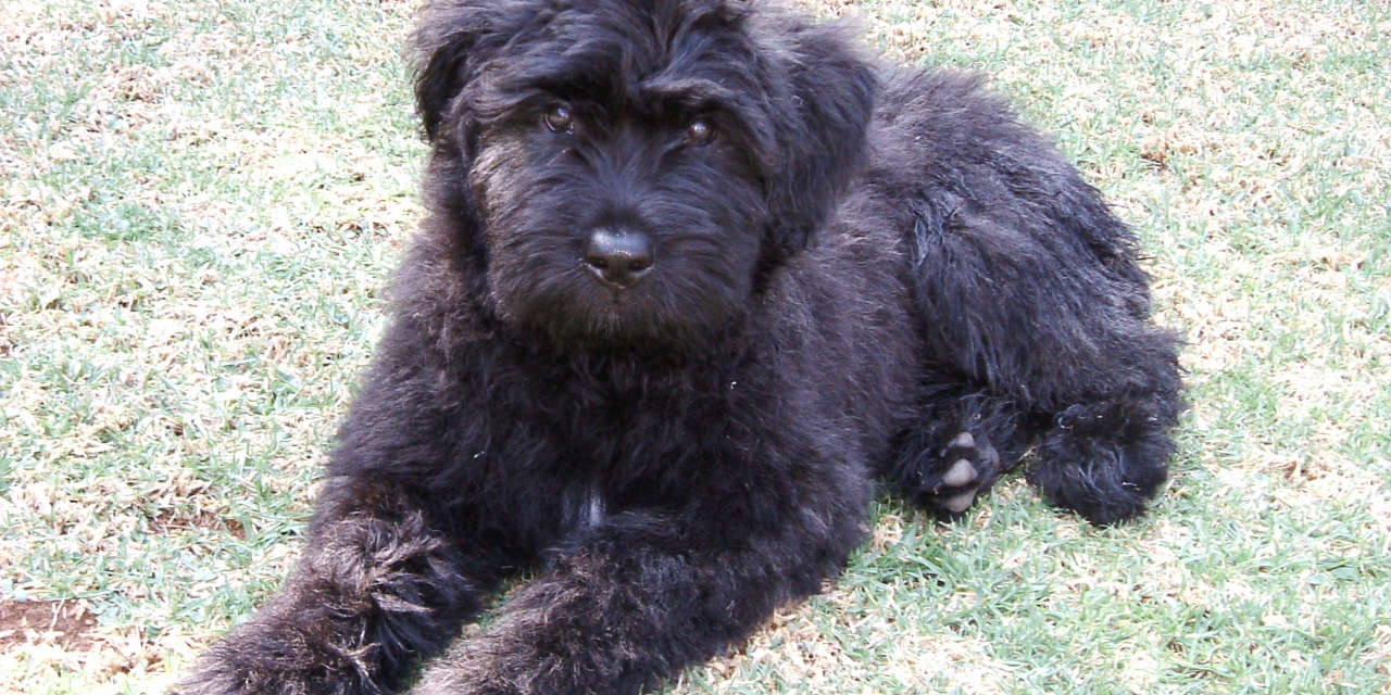 The Bouvier Des Flandres - A Hypoallergenic Type Of Dog