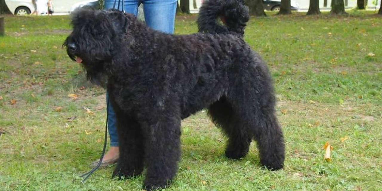 The Bouvier Des Flandres - A Non Shedding Sort Of Dog