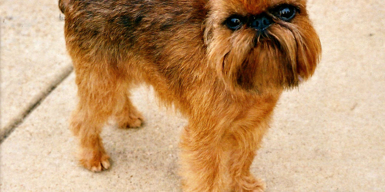 The Brussels Griffon - A Hypoallergenic Breed Of Dog