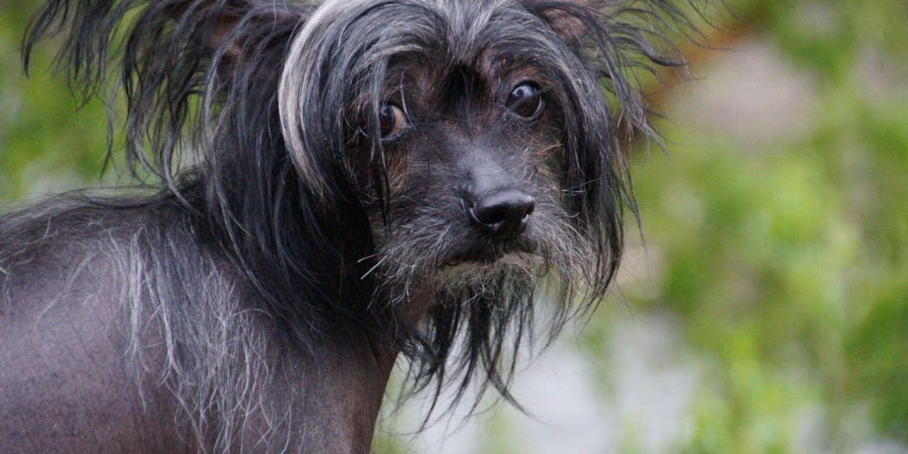 The Chinese Crested Dog - Non Shedding Dogs