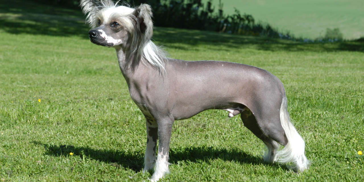 The Chinese Crested Dog - A Non Shedding Type Of Dog