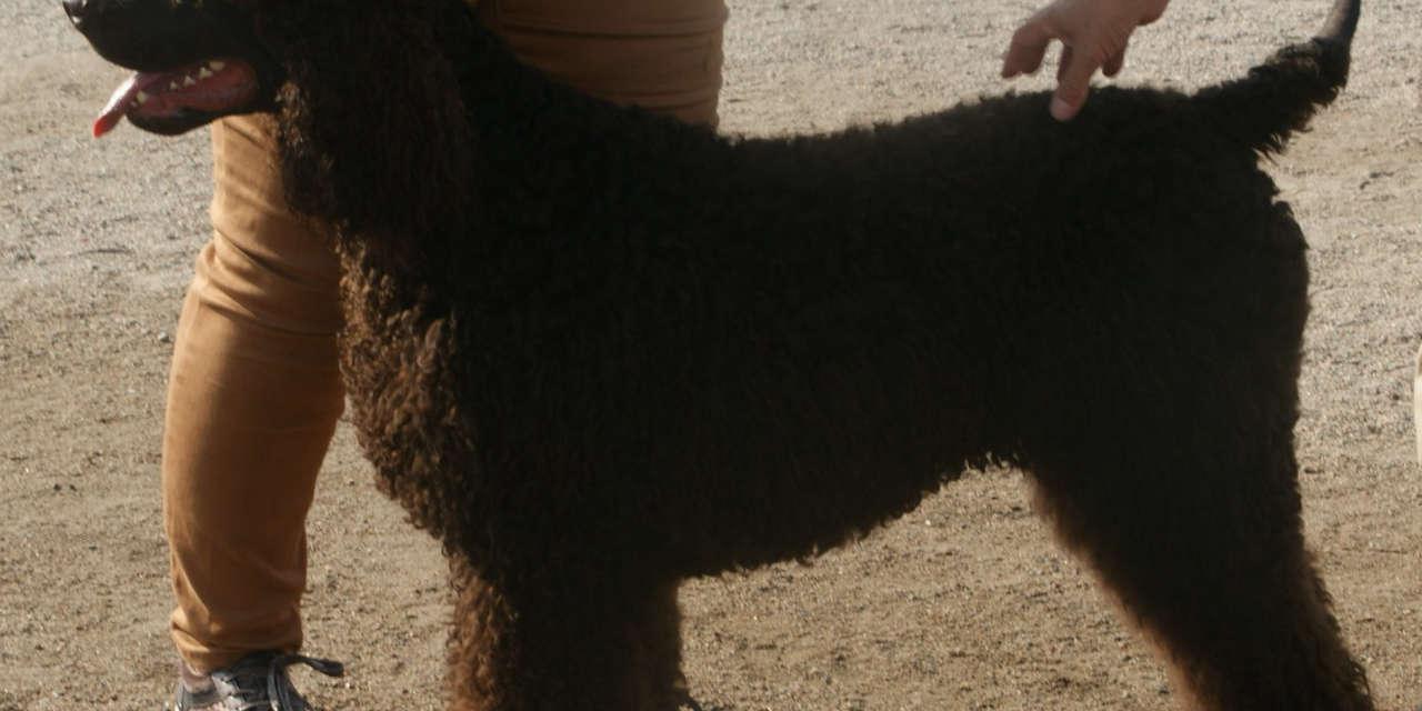 The Irish Water Spaniel - Non Shedding Sorts Of Dogs
