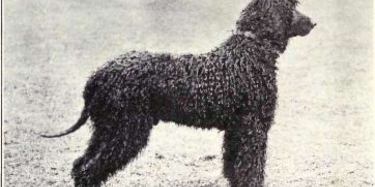 The Irish Water Spaniel - A Non Shedding Dog Breed