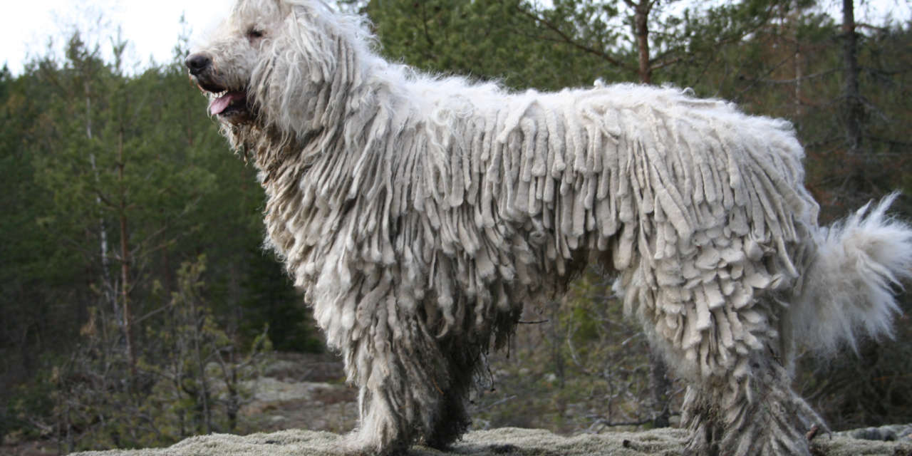 The Komondor - Non Shedding Sorts Of Dogs