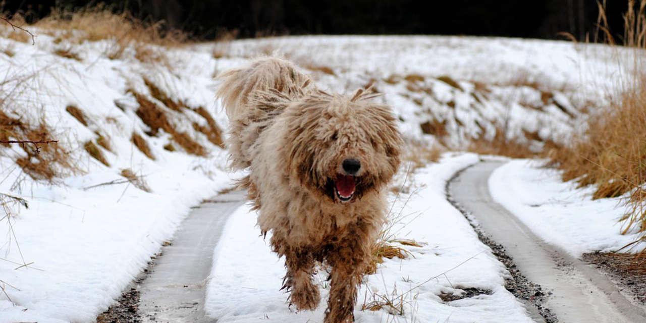 The Komondor - Non Shedding Breeds Of Dogs