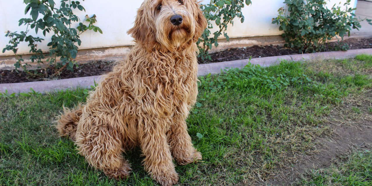 The Labradoodle - Non Shedding Types Of Dogs