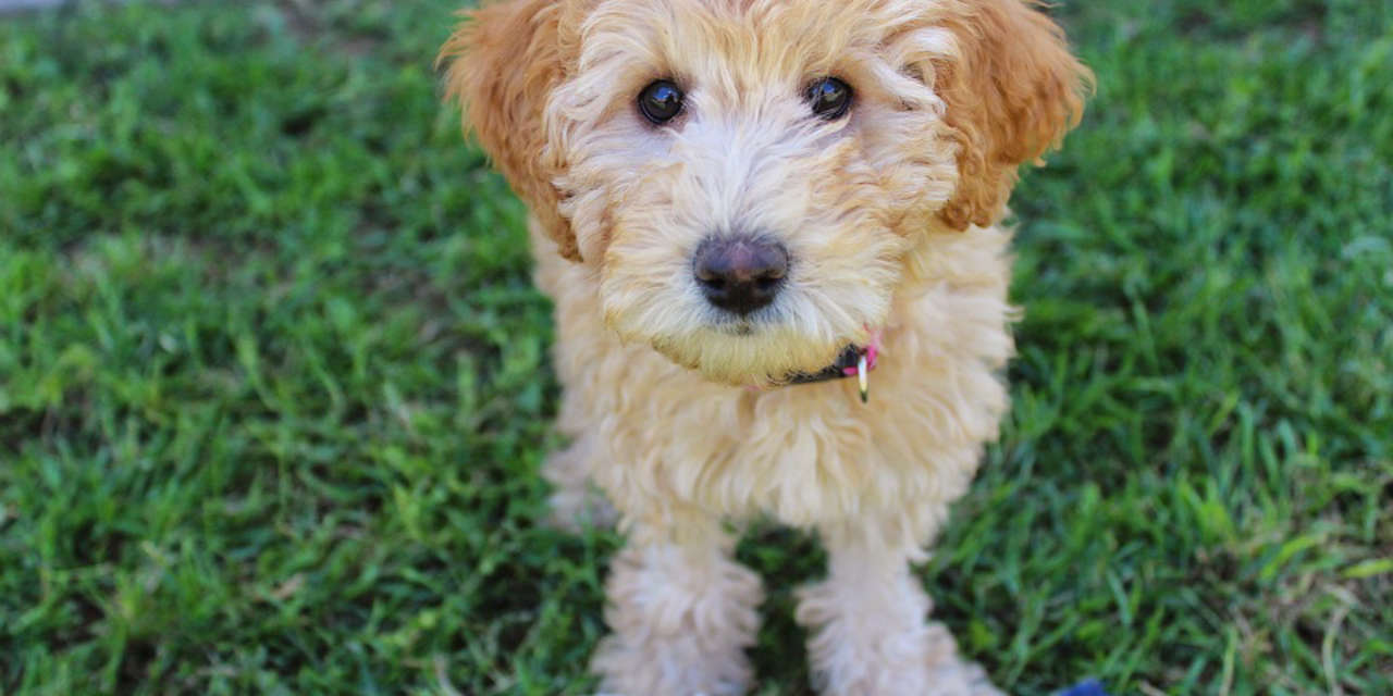 The Labradoodle - A Hypoallergenic Breed